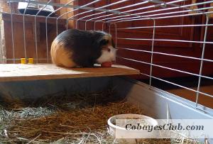 Cabane en carton pour cochon d'inde